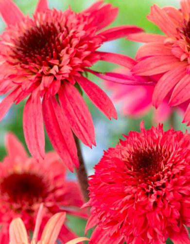 Echinacea Pot Plant
