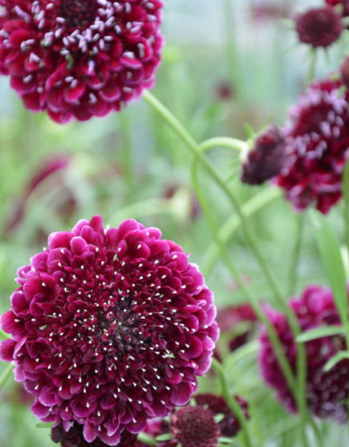 Scabiosa Cut Flower
